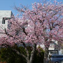 河津桜 役場の桜
