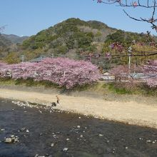 河津桜 対岸から