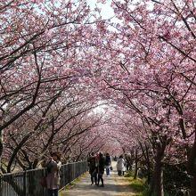 河津桜 かわづいでゆ橋付近の桜のトンネル