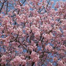 河津桜 満開に近い桜