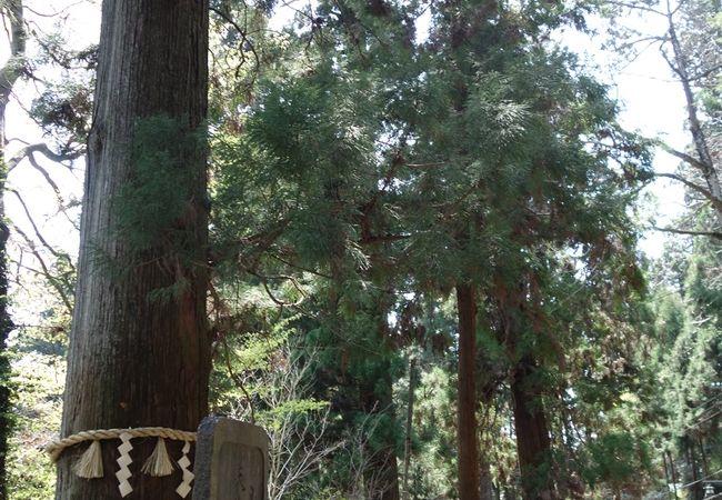 高尾山の杉並木