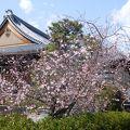 境内には御会式桜や木蓮が咲いていました。