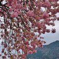 まだまだ見れる河津桜まつり 3月10日まで