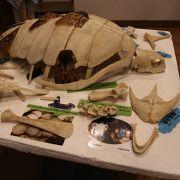 ウミガメの骨?