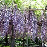 藤の花を堪能