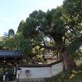 写真:青蓮院の楠