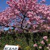 艶やかな桜に 足が止まります
