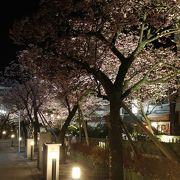 日本一早い熱海桜があります