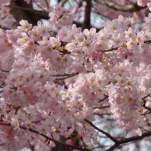 児童遊園の先に1本だけあるピンクが濃い桜が特に綺麗♪