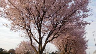 ポトマック河畔の里帰り桜