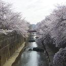 石神井川並木