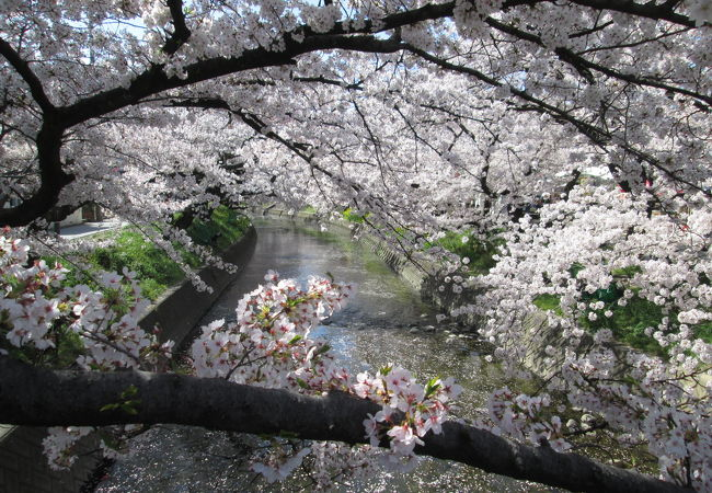すごい本数の桜が満開!!