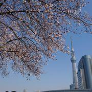 隅田川沿いに桜。スカイツリーと桜の写真も撮影できます!