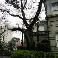 プリンスタワーと桜の木