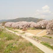 見事な桜並木。一見の価値あり。