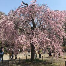 深大寺 桜(神代植物公園)