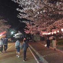道路の両脇にも桜並木があります