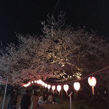 提灯もライトアップし桜まつりを演出しています