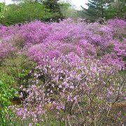 ツツジ山周辺で薄紫のコバノミツバツツジの花を見ました。