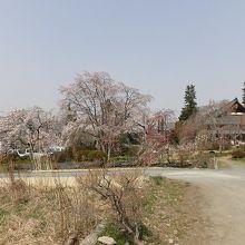 目の前の県道を走る車を思わず立ち寄らせる見事な桜たち