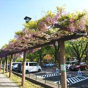 藤の花が満開!