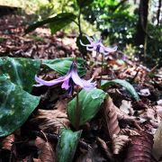 筑波山頂カタクリの花まつり