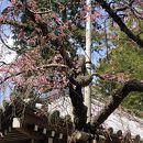 弘川寺のカイドウ