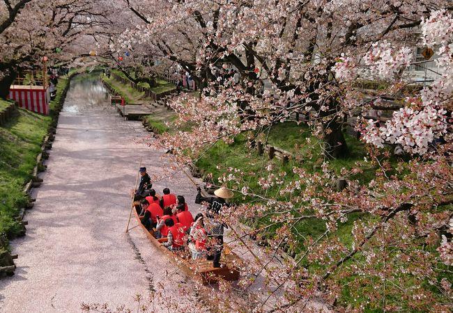 桜の新河岸川で春の舟遊を楽しめます。