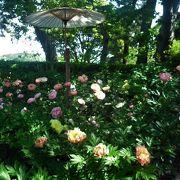 リニューアルされたぼたん苑ではきれいなシャクヤクを見ることが出来ました。