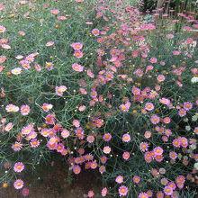 こぼれるようなマーガレットの花