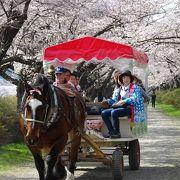 今年の桜は見ごたえが有りました。