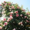冠山総合公園の薔薇が満開です。