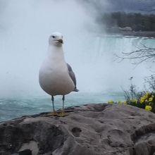 クロワカモメとカナダ滝