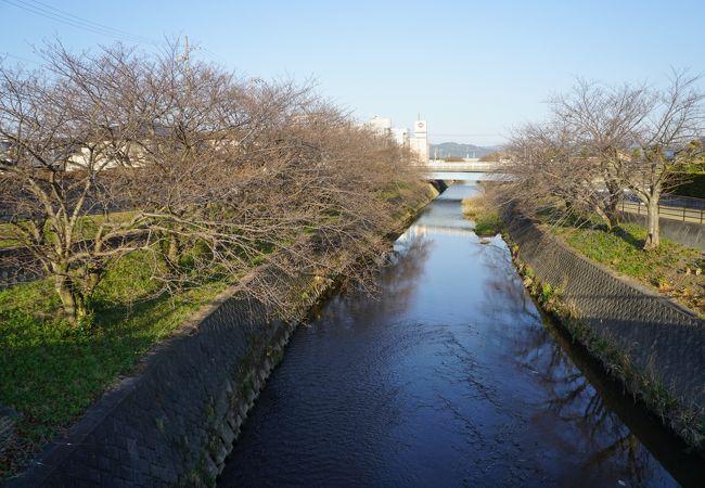 六間川堤の桜