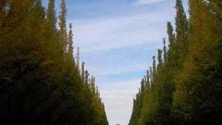 いちょう並木の近くで秋にやっています