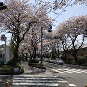 桜並木が綺麗