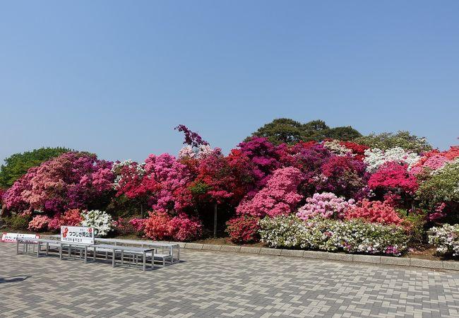 県立つつじケ岡公園のつつじの山がみごと