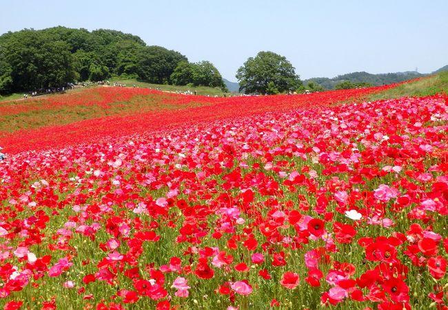 高原に1500万本のポピーが揺れる 圧巻の花畑
