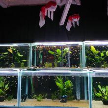 金魚水族館になってます
