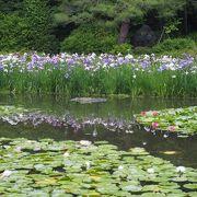 池の花睡蓮、芭蕉などがきれい