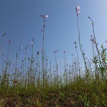 石垣の上の野の花