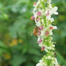 ミツバチも働いています