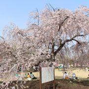 桜の名所ですが、丘ではない気がします