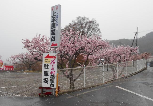 雨で、まつりの盛り上がりは欠けたが、一目十万本というあんずの花には満足。