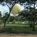 写真:アンコールワット 気球
