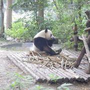 広い園内にパンダがたくさん