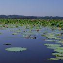 伊豆沼 内沼はすまつり