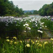 6月上旬から中旬には菖蒲が咲きます