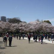 満開の桜を楽しむ