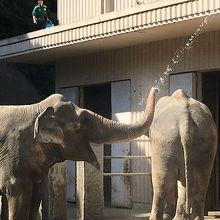 お水を飲む象